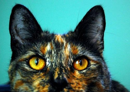 Фурминатор для британских кошек