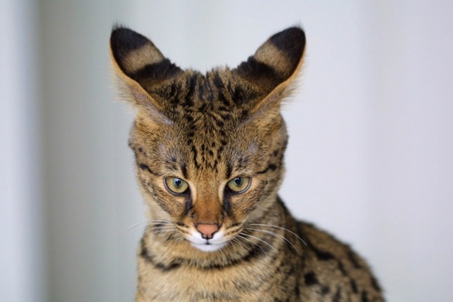 Причины почему кошка прижимает уши?