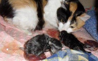 Окситоцин кошке при родах и после - дозировка и когда нельзя