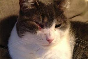 У кота опухла щека - симптомы, причины и лечение