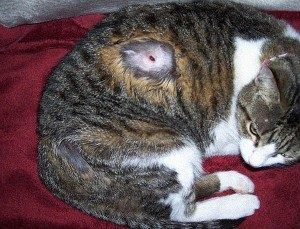 4 причины почему у кота на лапе шишка - как лечить