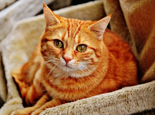 Отодектоз у кошек: лечение и симптомы