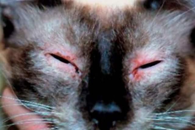 7 причин почему у кота гноятся глаза - что делать и лечение