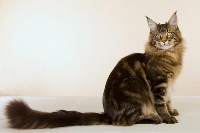 Зачем кошке хвост - для чего нужен и строение