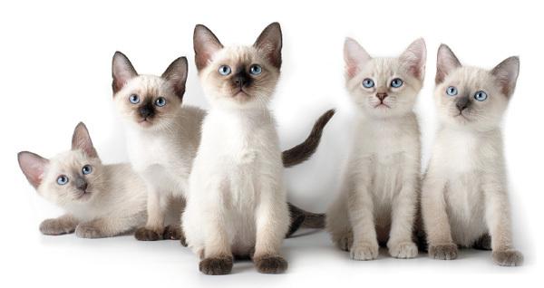 5 причин почему у кошки лысеют уши - лечение и профилактика