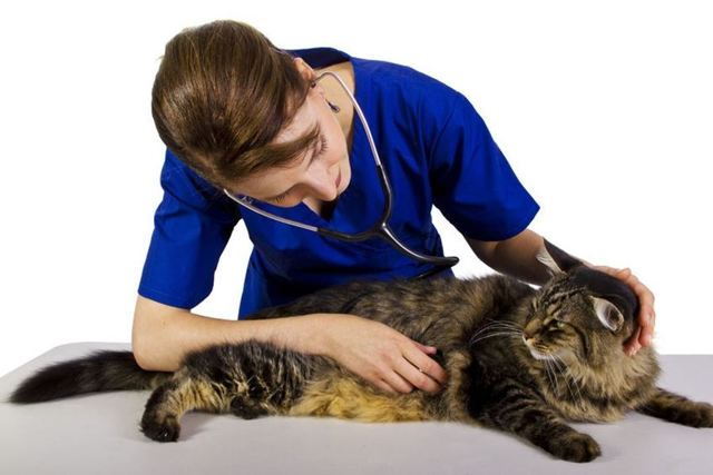 9 причин расстройства желудка у кошки - симптомы и лечение