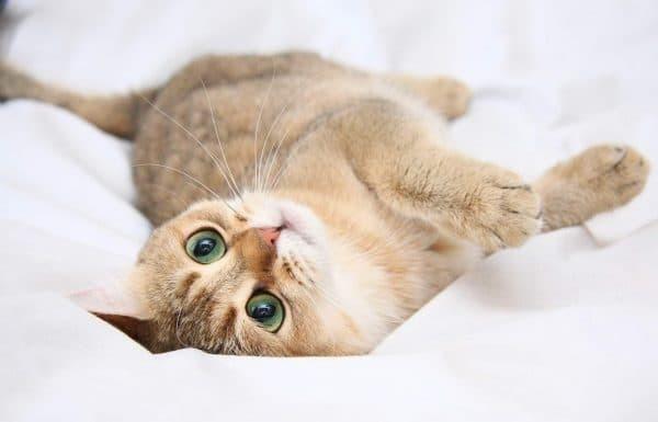 Как успокоить кошку при течке в домашних условиях