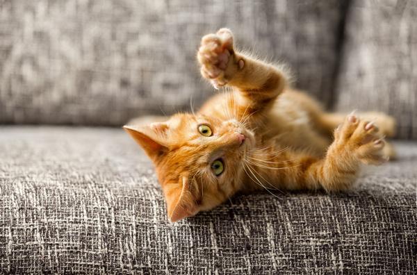 Котенок кусается и царапается - причины и что делать