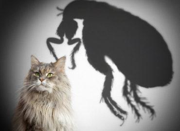 Блохи у кошки: как обнаружить и избавиться