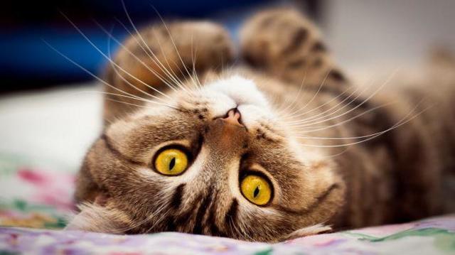 Есть ли у кошек пупок - где он находится