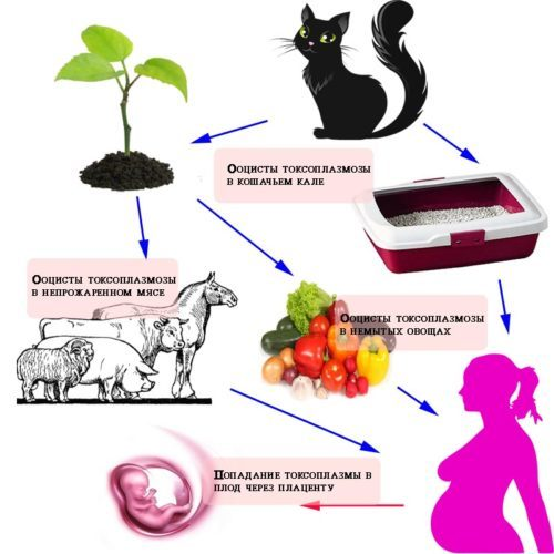 Прививка от токсоплазмоза для кошек - зачем делать?
