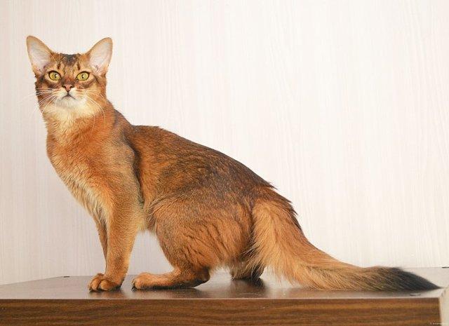 Сомалийская кошка - фото, характер, описание и цена породы