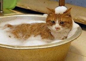 Шампунь от блох для кошек - действия и как применять