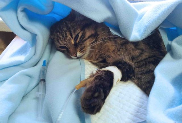 Подкожные капельницы кошке - как делать