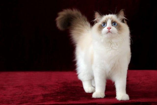 Рэгдолл кошка - описание, характеристика, фото породы