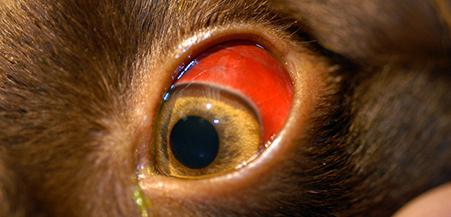 Кошка поцарапала глаз собаке - что делать, как лечить