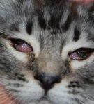 У кошки гноятся глаза - что делать в домашних условиях, как лечить