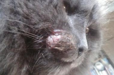 6 причин шишки на щеке у кота