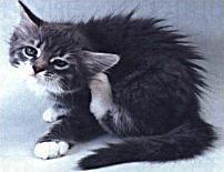 У кошки черное в ушах - симптомы и лечение