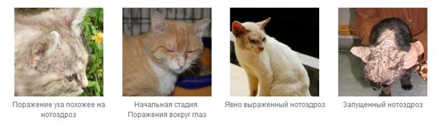Ушные капли для кошек - препараты для лечения