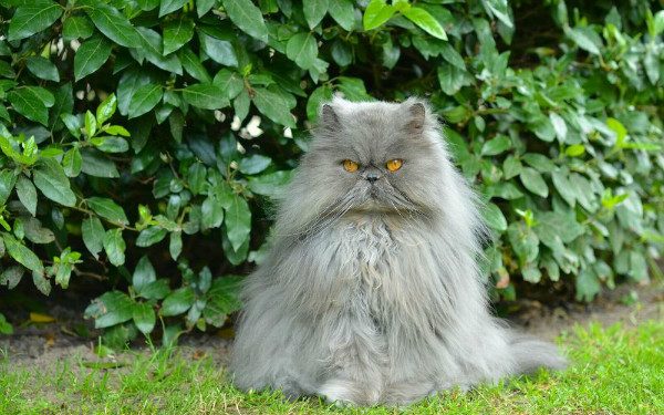 Породы пушистых кошек - фото, название и характеристика