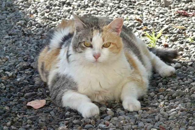 Гормональный сбой у кошек - симптомы и лечение