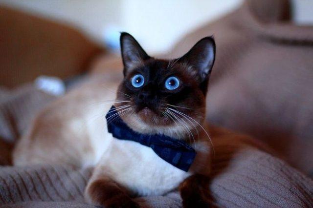 Тайская кошка - фото, описание породы и характера