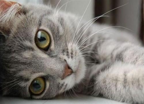 Марена красильная для кошек: инструкция по применению