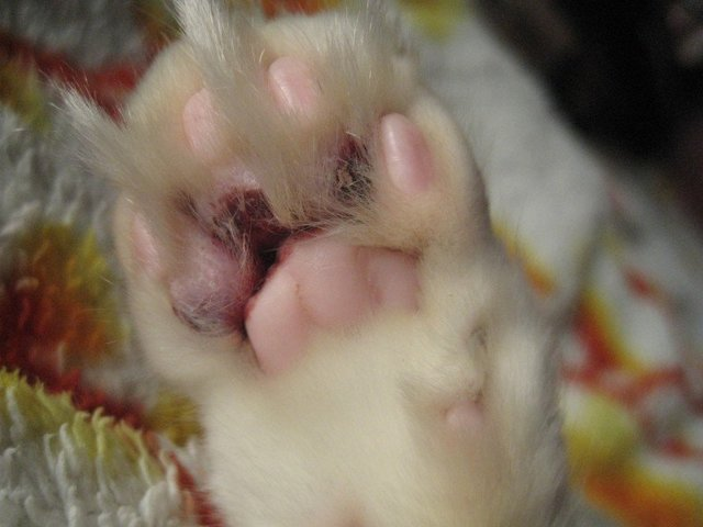 6 причин почему у кота шишка на подбородке