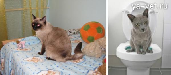 Как лечить кровь в моче у кота