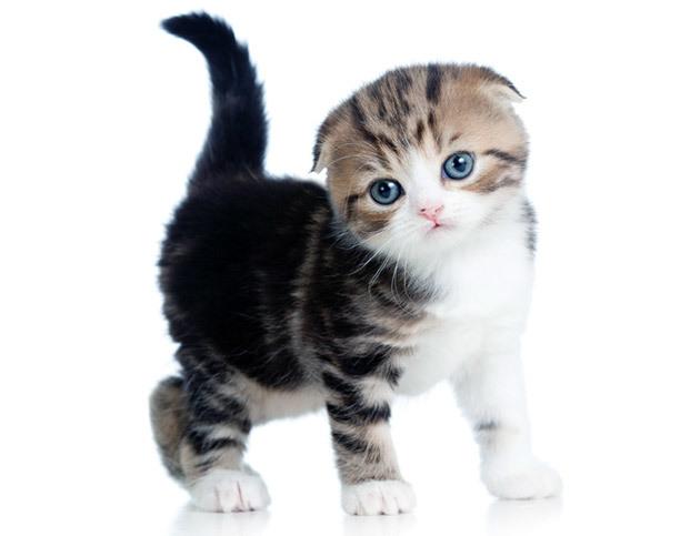 Как чистить уши вислоухим котятам?