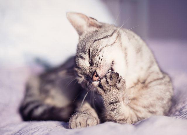Может ли домашняя кошка заразиться бешенством?