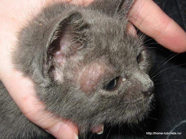 5 причин милиарного дерматита у кошек - симптомы, лечение
