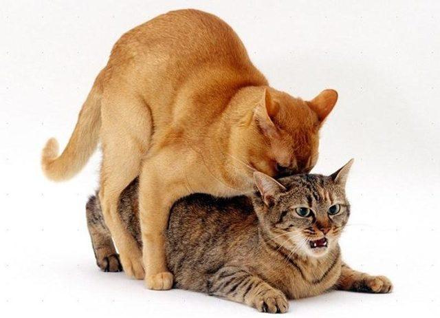 Как спариваются кошки - вязка у котов
