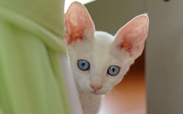 Амитразин для кошек - инструкция по применению препарата