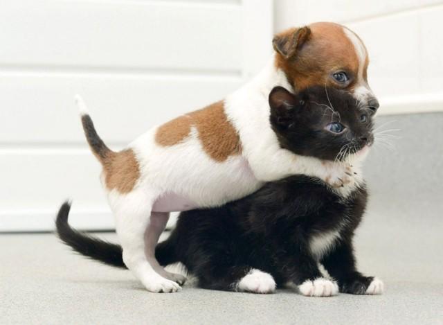 Как подружить кошку с собакой в квартире - правила содержания