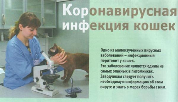 Коронавирус у кошек: как проявляется и что делать