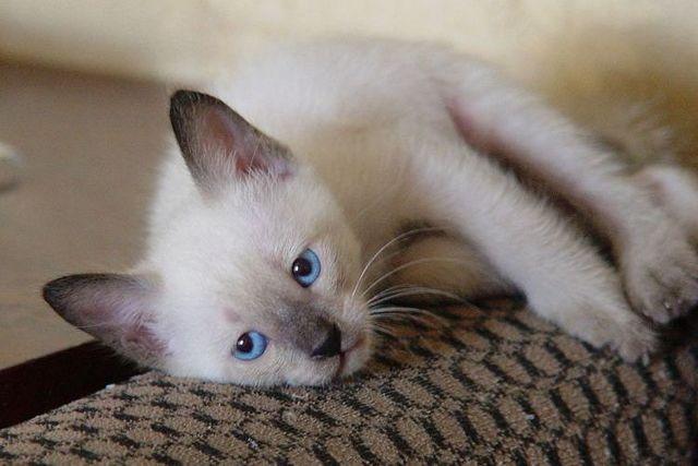 Папаверин для кошек: инструкция по применению