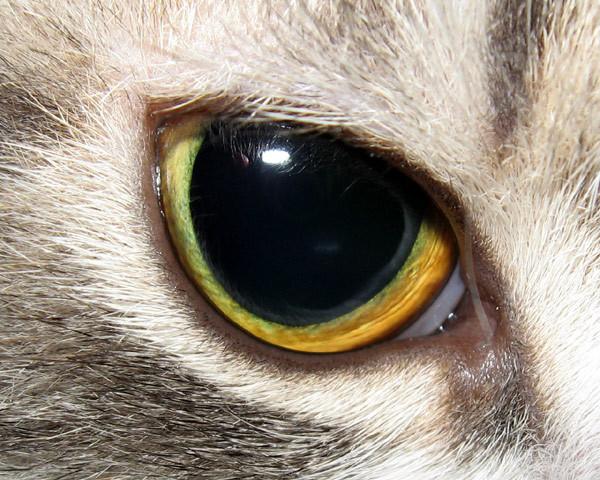 4 причины расширенных зрачков у кошки - что делать