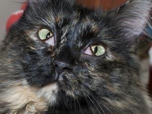 Белая пленка на глазах у кошки - причины, сиптомы, лечение