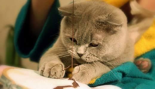 Самые долгоживущие кошки: обзор 10 пород кошек