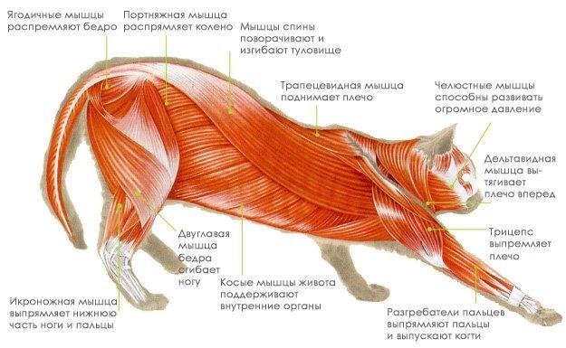 Строение внутренних органов кошки