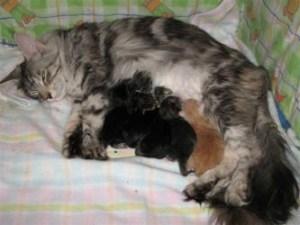 Как проходят роды у кошек - подготовка, этапы