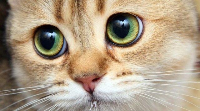 Породы кошек с большими глазами