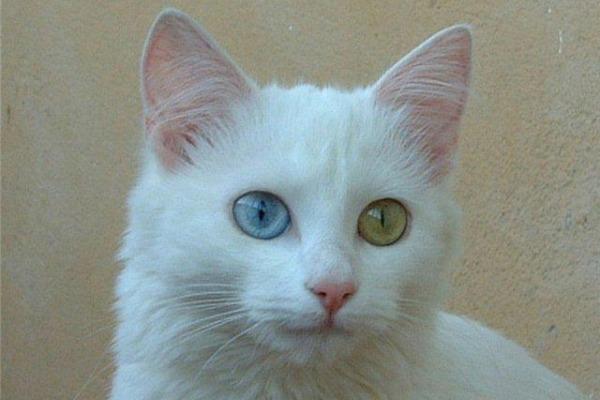 Порода белой кошки с разными глазами