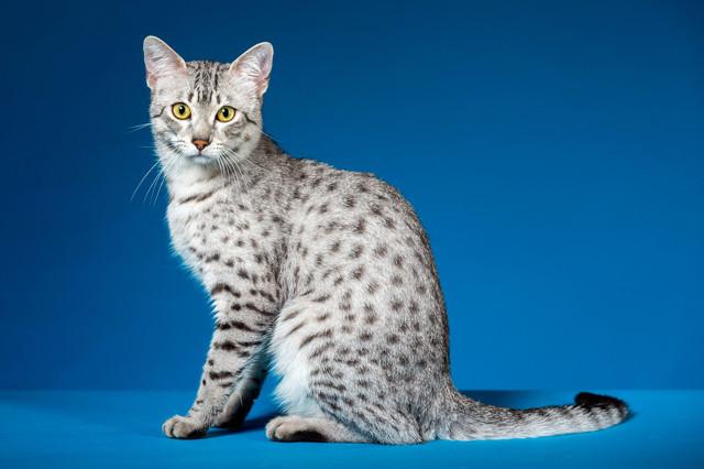 Кошка похожая на рысь - описание породы, характер