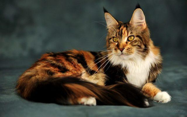 Кошка с хвостом как у белки - фото и описание породы