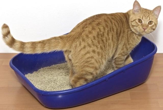 6 причин появления песка в мочевом пузыре у кота - диагностика и лечение