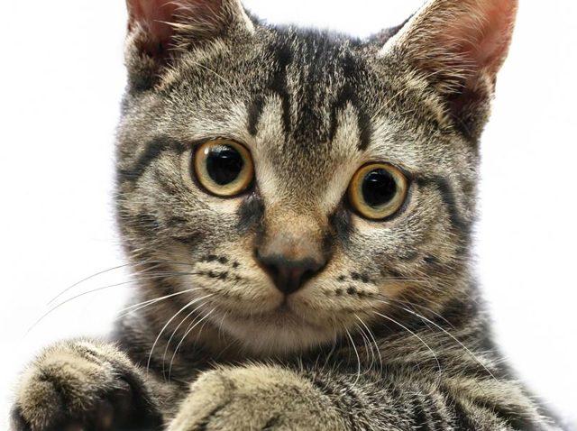 Трехцветные коты - бывают ли в природе