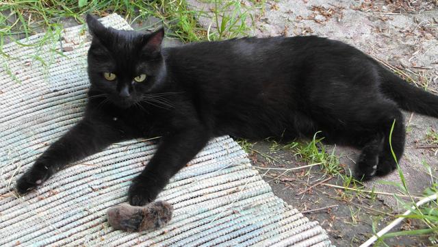 Зачем кошки несут убитых животных домой - причины и что делать